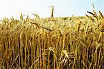 Field of wheat Stock Photo - Premium Royalty-Freenull, Code: 695-05767706