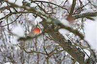 single fruits tree - Single apple on snow-covered tree Stock Photo - Premium Royalty-Freenull, Code: 695-05771883