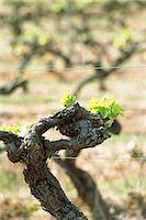 Grapevine Stock Photo - Premium Royalty-Freenull, Code: 695-05772252