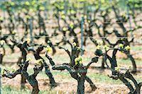 Vineyard Stock Photo - Premium Royalty-Freenull, Code: 695-05772253