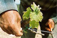 Tying grapevine Stock Photo - Premium Royalty-Freenull, Code: 695-05772256