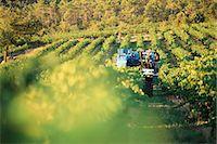 Grape harvest Stock Photo - Premium Royalty-Freenull, Code: 695-05772265