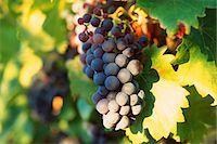 Grapevine Stock Photo - Premium Royalty-Freenull, Code: 695-05772282
