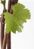 Grapevine, close-up Stock Photo - Premium Royalty-Freenull, Code: 695-05778197