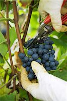 Person cutting grapes off vine, cropped view of hands Stock Photo - Premium Royalty-Freenull, Code: 695-05779716