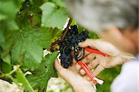 Man cutting grapes off vine, cropped view Stock Photo - Premium Royalty-Freenull, Code: 695-05779717