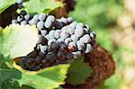 Grenache grapes Stock Photo - Premium Royalty-Freenull, Code: 696-05780761