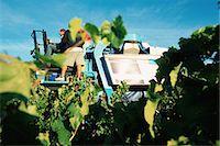 Grape harvest Stock Photo - Premium Royalty-Freenull, Code: 696-05780764