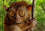 Tarsier fraterculus, the smallest living primate, only 130mm (5 inches) tall, Tarsier Sanctuary, Sikatuna, Bohol, Philippines, Southeast Asia, Asia Stock Photo - Premium Rights-Managed, Artist: Robert Harding Images, Code: 841-05781107