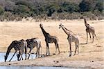 Giraffes at waterhole, Hwange National Park, Zimbabawe, Africa Stock Photo - Premium Rights-Managed, Artist: Robert Harding Images, Code: 841-05781762