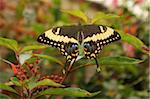 Swallowtail Butterfly (Papilionidae) Stock Photo - Premium Rights-Managed, Artist: Robert Harding Images, Code: 841-05781946