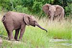 Young African elephant (Loxodonta africana) drinking, Hluhluwe Umfolozi Park, Kwazulu Natal, South Africa, Africa Stock Photo - Premium Rights-Managed, Artist: Robert Harding Images, Code: 841-05783234