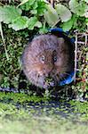 Water vole (Arvicola terrestris) in captivity, United Kingdom, Europe Stock Photo - Premium Rights-Managed, Artist: Robert Harding Images, Code: 841-05783261
