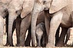 Breeding herd of elephant (Loxodonta africana), Addo Elephant National Park, Eastern Cape, South Africa, Africa Stock Photo - Premium Rights-Managed, Artist: Robert Harding Images, Code: 841-05783273