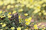 Ground squirrels (Xerus inauris), in devil's thorn flowers, Kgalagadi Transfrontier Park, Northern Cape, South Africa, Africa Stock Photo - Premium Rights-Managed, Artist: Robert Harding Images, Code: 841-05783276