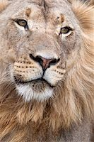 Male lion (Panthera leo), Addo National Park, Eastern Cape, South Africa, Africa Stock Photo - Premium Rights-Managednull, Code: 841-05783280