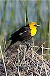 Male yellow-headed blackbird (Xanthocephalus xanthocephalus), Bear River Migratory Bird Refuge, Utah, United States of America, North America Stock Photo - Premium Rights-Managed, Artist: Robert Harding Images, Code: 841-05783711