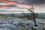 Twisted hawthorn trees growing through the limestone pavement on Twistleton Scar, Yorkshire Dales National Park, Yorkshire, England, United Kingdom, Europe Stock Photo - Premium Rights-Managed, Artist: Robert Harding Images, Code: 841-05785191