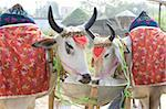 Two white cows, decorated with cloth and bells, for sale at the annual Sonepur Cattle Fair near Patna, Bihar, India, Asia Stock Photo - Premium Rights-Managed, Artist: Robert Harding Images, Code: 841-05785483