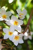 seychelles - Close-up of Plumeria Obtusa Stock Photo - Premium Royalty-Freenull, Code: 600-05786209