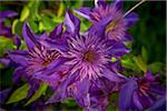 Clematis, Bradford, Ontario, Canada Stock Photo - Premium Royalty-Free, Artist: Shannon Ross, Code: 600-05786488