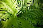 Fern, Bradford, Ontario, Canada Stock Photo - Premium Royalty-Free, Artist: Shannon Ross, Code: 600-05786499
