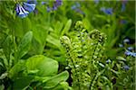 Fiddleheads and Virginia Bluebells, Bradford, Ontario, Canada Stock Photo - Premium Royalty-Free, Artist: Shannon Ross, Code: 600-05786501
