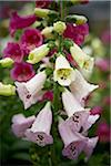 Foxgloves, Bradford, Ontario, Canada Stock Photo - Premium Royalty-Free, Artist: Shannon Ross, Code: 600-05786503