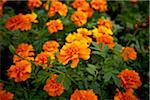 Marigolds, Bradford, Ontario, Canada Stock Photo - Premium Royalty-Free, Artist: Shannon Ross, Code: 600-05786518