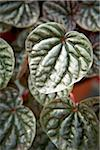 Peperomia Leaves, Bradford, Ontario, Canada Stock Photo - Premium Royalty-Free, Artist: Shannon Ross, Code: 600-05786521