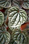 Peperomia Leaves, Bradford, Ontario, Canada