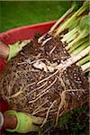 Hosta Root Ball in Wheelbarrow, Bradford, Ontario, Canada Stock Photo - Premium Royalty-Free, Artist: Shannon Ross, Code: 600-05786528