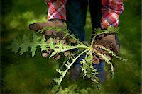 palm - Gardener Holding a Thistle, Bradford, Ontario, Canada Stock Photo - Premium Royalty-Freenull, Code: 600-05786561