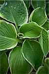 Hosta, Bradford, Ontario, Canada Stock Photo - Premium Royalty-Free, Artist: Shannon Ross, Code: 600-05786563