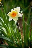 spring flowers - Daffodil, Bradford, Ontario, Canada Stock Photo - Premium Royalty-Freenull, Code: 600-05786564