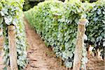 Vineyard, Niagara Region, Ontario, Canada Stock Photo - Premium Royalty-Free, Artist: Ikonica, Code: 600-05786603