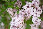 Close-up of Lilacs Stock Photo - Premium Royalty-Free, Artist: Ikonica, Code: 600-05786639