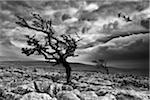Hawthorn and Limestone Pavement, Yorkshire Dales Stock Photo - Premium Royalty-Free, Artist: AWL Images, Code: 6106-05787796