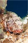Spotted Scorpionfish Stock Photo - Premium Royalty-Free, Artist: Science Faction, Code: 6106-05788440