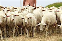Flock of sheep in Sardinia Stock Photo - Premium Royalty-Freenull, Code: 614-05792229