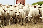 Flock of sheep in Sardinia Stock Photo - Premium Royalty-Free, Artist: Aurora Photos, Code: 614-05792229