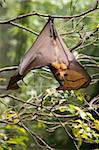 Fruit Bat (Flying Fox) (Chiroptera, Pteropodidae) Stock Photo - Premium Rights-Managed, Artist: Robert Harding Images, Code: 841-05794576
