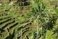 Rice terraces, Bali Island, Indonesia, Southeast Asia, Asia Stock Photo - Premium Rights-Managednull, Code: 841-05796339