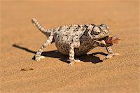 Namaqua chameleon (Chamaeleo namaquensis) wraps its tonge around a grub worm, Namib desert dune, Namibia, Africa Stock Photo - Premium Rights-Managednull, Code: 841-05797036