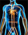 Human cardiovascular system, artwork Stock Photo - Premium Royalty-Free, Artist: Science Faction, Code: 679-05797779