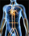 Human cardiovascular system, artwork Stock Photo - Premium Royalty-Free, Artist: Science Faction, Code: 679-05797809
