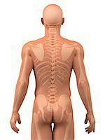 Upper body bones, artwork Stock Photo - Premium Royalty-Freenull, Code: 679-05798125