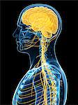 Human nervous system, artwork Stock Photo - Premium Royalty-Free, Artist: Science Faction, Code: 679-05798177