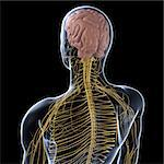 Human nervous system, artwork Stock Photo - Premium Royalty-Free, Artist: Science Faction, Code: 679-05798195
