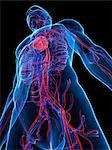 Cardiovascular system, artwork Stock Photo - Premium Royalty-Freenull, Code: 679-05798509